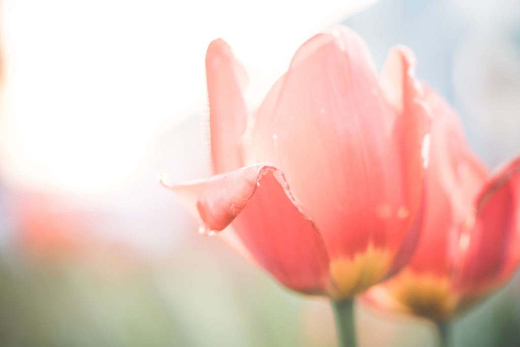 Free-Nature-Backgrounds-Desaturated-Red-Tulips