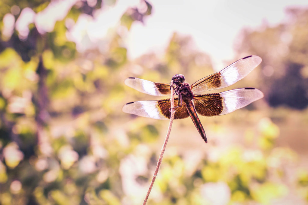 Free-Nature-Backgrounds-Dragonfly-by-Gratisography